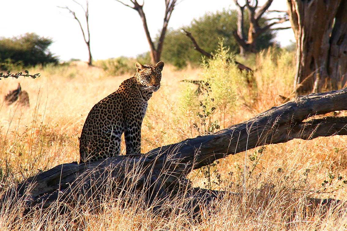 Leopard bei Savuti