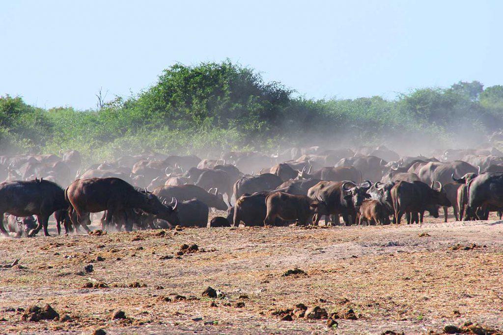 Büffelherde im Chobe