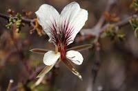 Pelargonium praemorsum