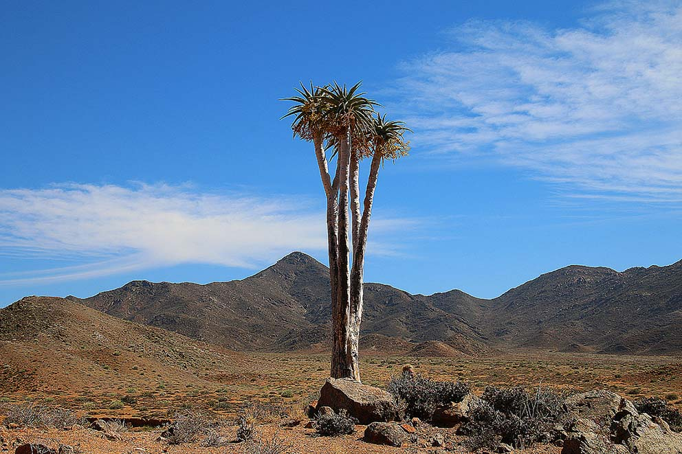 Aloe pillansii im Richtersveld