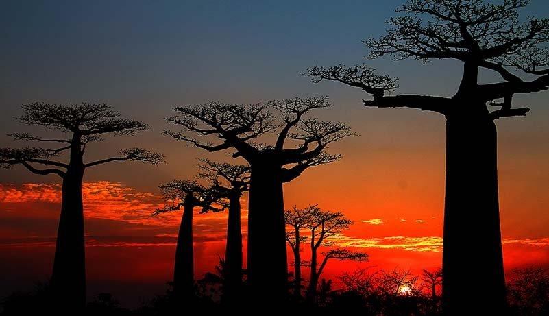 Morondava, Baobab-Allee