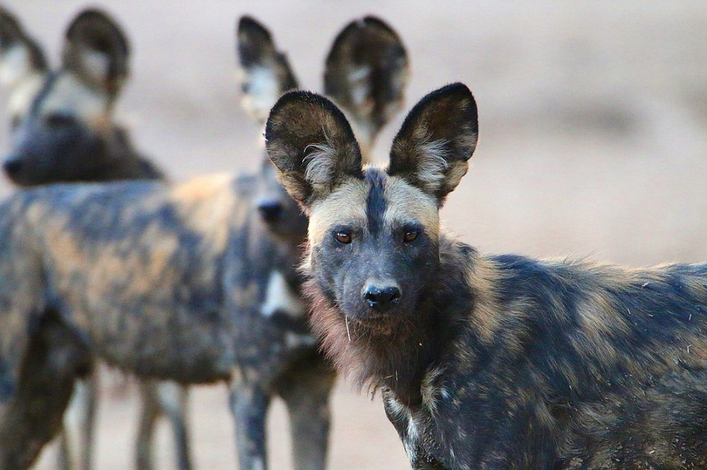Wildhunde, Mana Pools NP