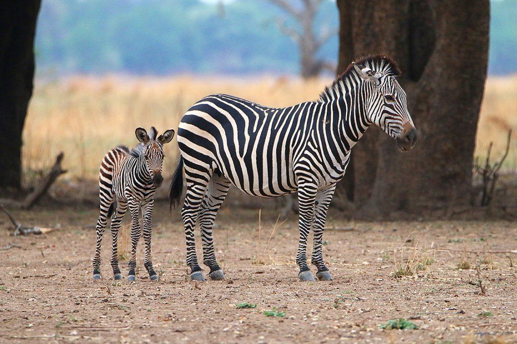 Crawshay-Zebras, South Luangwa NP