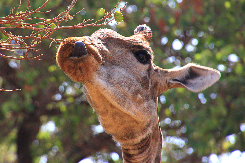 Giraffe, South Luangwa NP