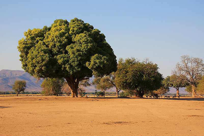 Üppiger Baum, Mana Pools NP