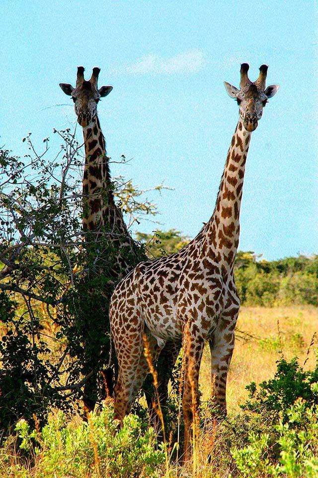 Giraffen, Saadani NP