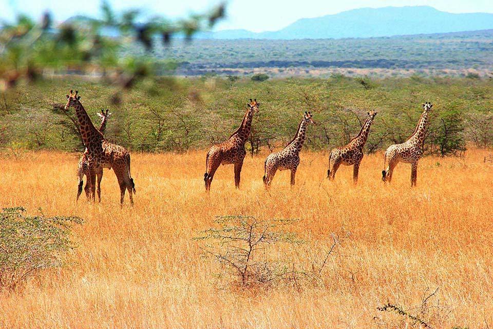 Giraffen, Mkomazi NP