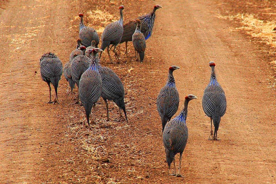 Geierperlhühner, Mkomazi NP