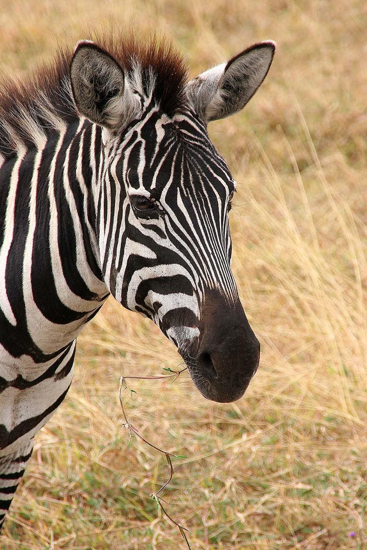 Zebra, Ngorongoro Krater