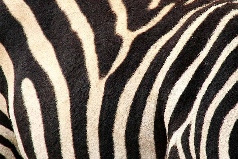 Zebra en detail, Ngorongoro Krater