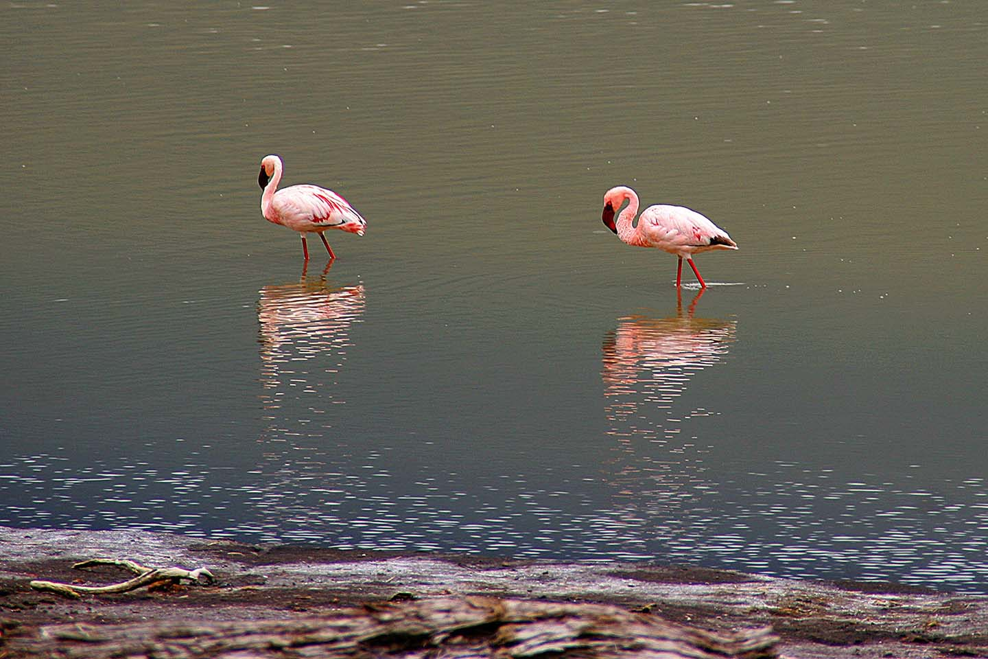Flamingos, Embakaai See