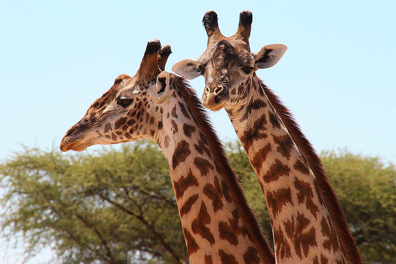 Giraffen, Ruaha NP