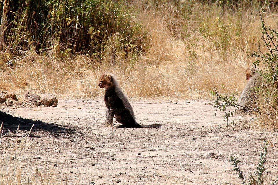 Junger Gepard, Ruaha NP