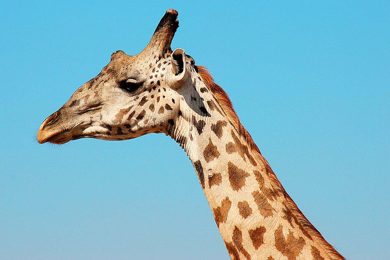 Giraffe, Ruaha NP