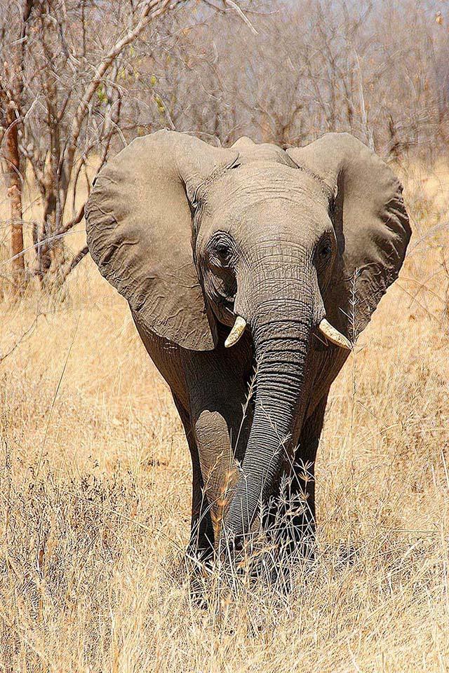 Elefant, Ruaha NP