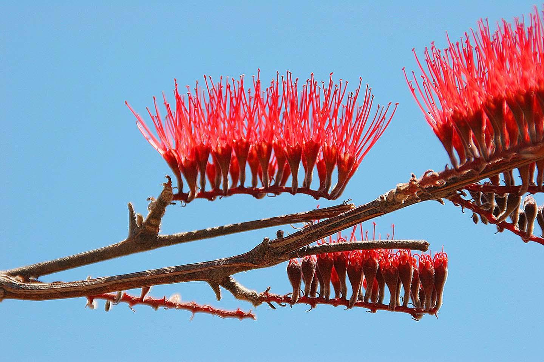 Flammender Baum, Ruaha NP