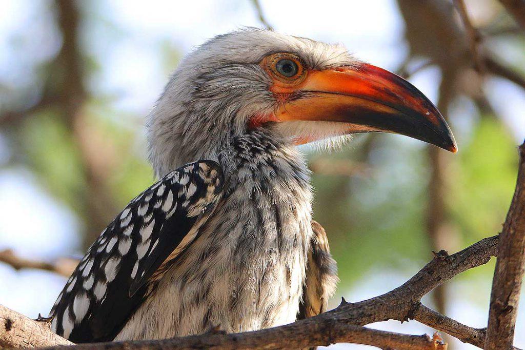 Gelbschnabeltoko, Central Kalahari GR