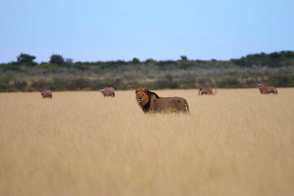 Löwe mit Oryx, Central Kalahari GR