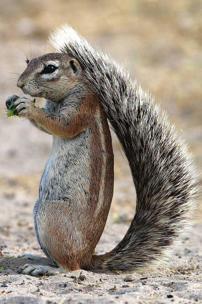 Kap-Borstenhörnchen, Central Kalahari GR