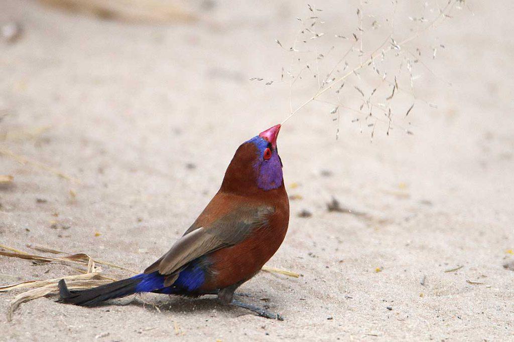 Granatastrild wirbt um Weibchen, Central Kalahari GR