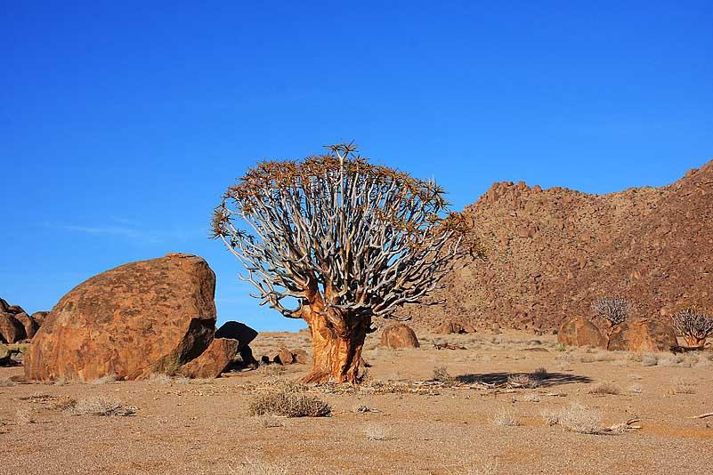 Aloidendron dichotomum, Richtersveld NP