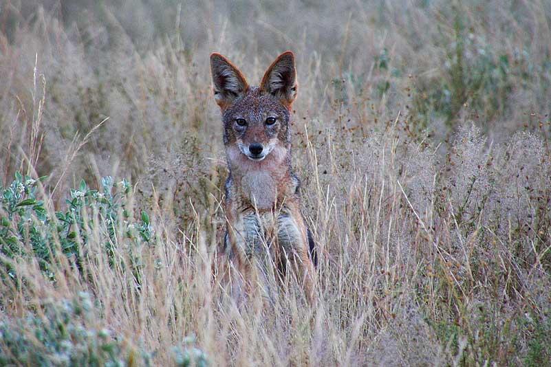 Schabrackenschakal, Central Kalahari GR
