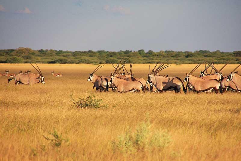 Oryxherde, Central Kalahari GR