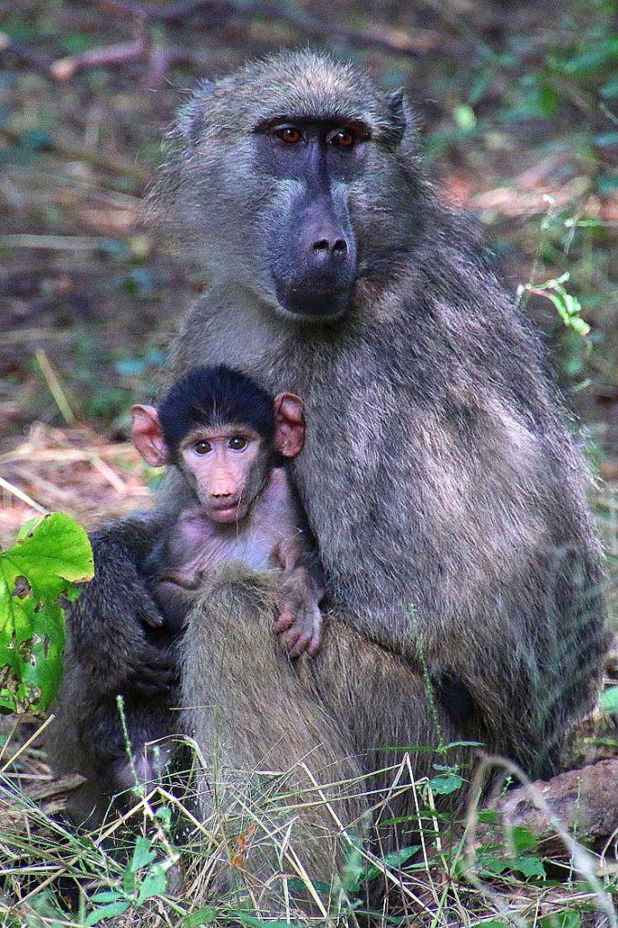 Pavianmutter mit Kind, Victoria Falls NP