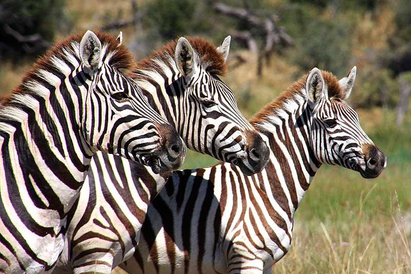 Zebras, Makgadikgadi Pans NP