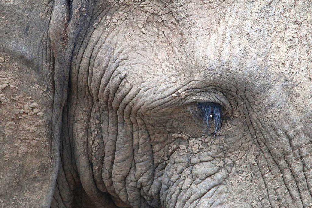 Elefant, Nxai Pan