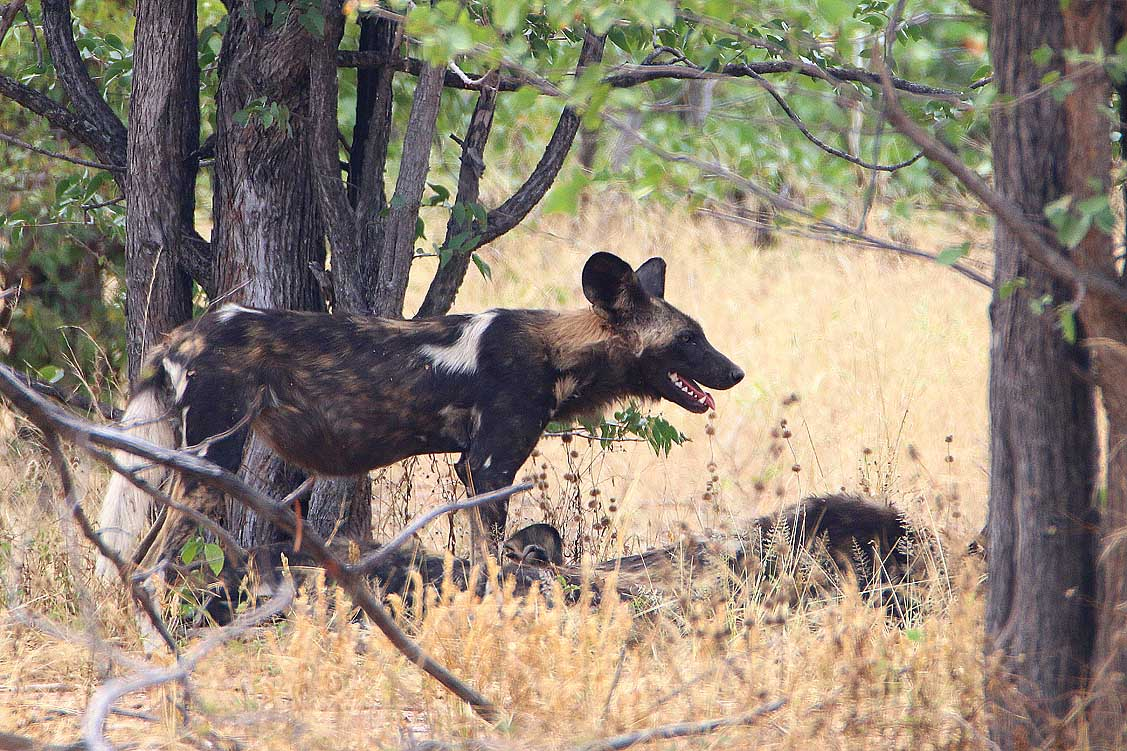 Wildhund, Hwange NP