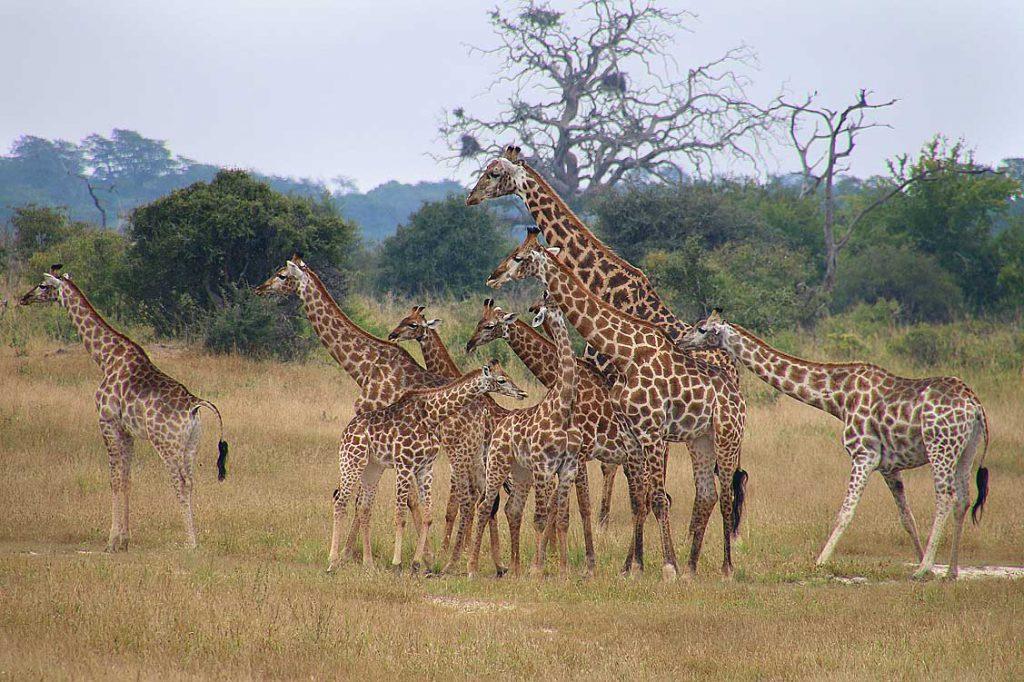 Giraffenkindergarten, Hwange NP