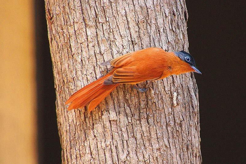 Madagaskar-Paradiesschnäpper (Terpsiphone mutata)