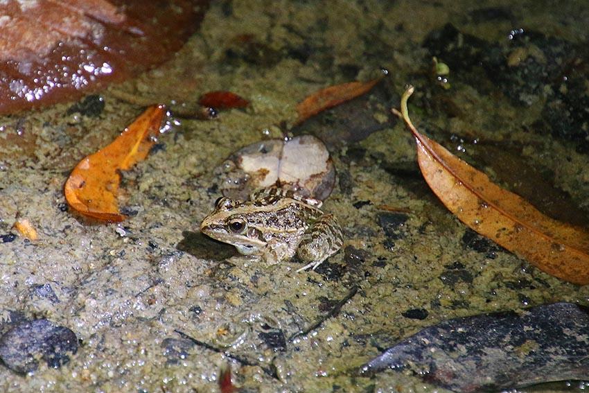 Frosch (Ptychadena madagascariensis), Kirindy