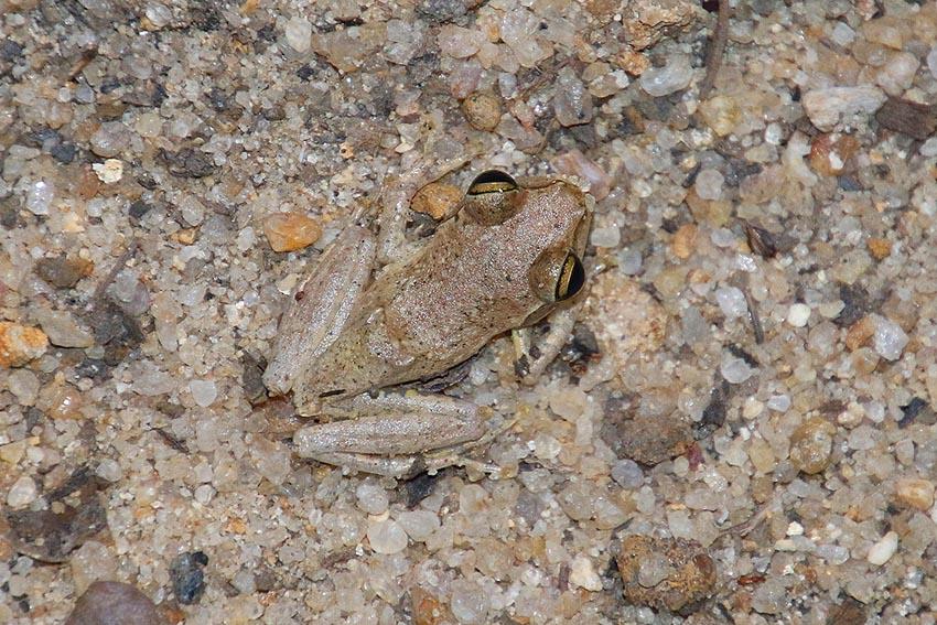 Frosch (Boophis doulioti), Kirindy