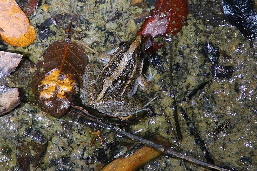 Frosch (Ptychadena madagascariensis) Kirindy