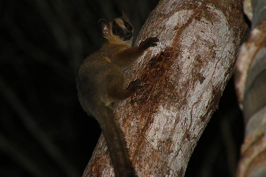 Westliche Gabelstreifenmaki (Phaner furcifer pallescens)