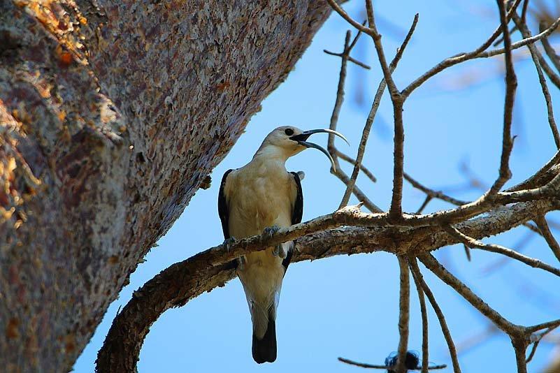 Sichelvanga (Falculea palliata)