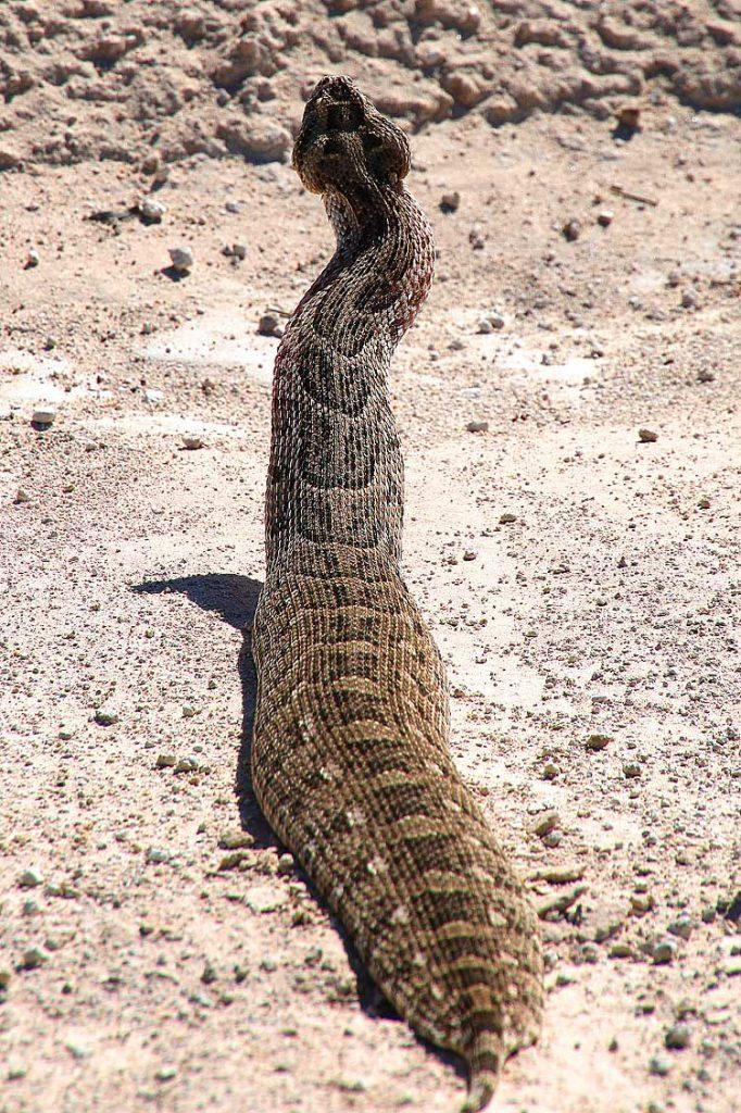 Puffotter, Central Kalahari GR