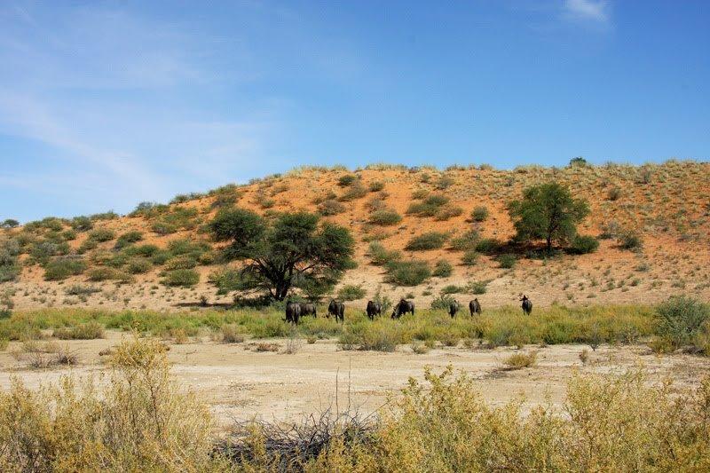 Gnus grasen in der Kalahari