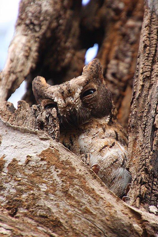 Madagaskar-Zwergohreule (Otus rutilus)
