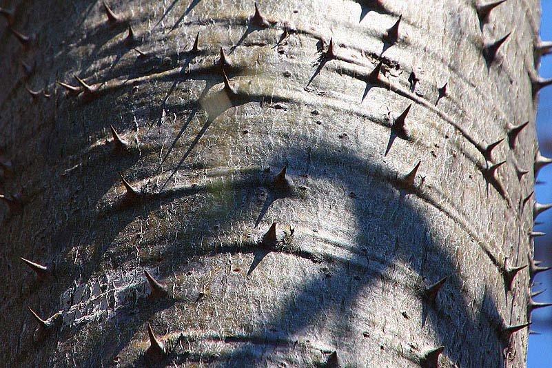 Pachypodium ruthenbergianum