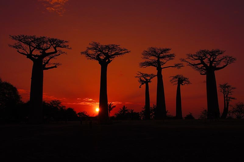 Baobab Allee, Avenue of Baobabs, Allée des Baobabs, Morondava