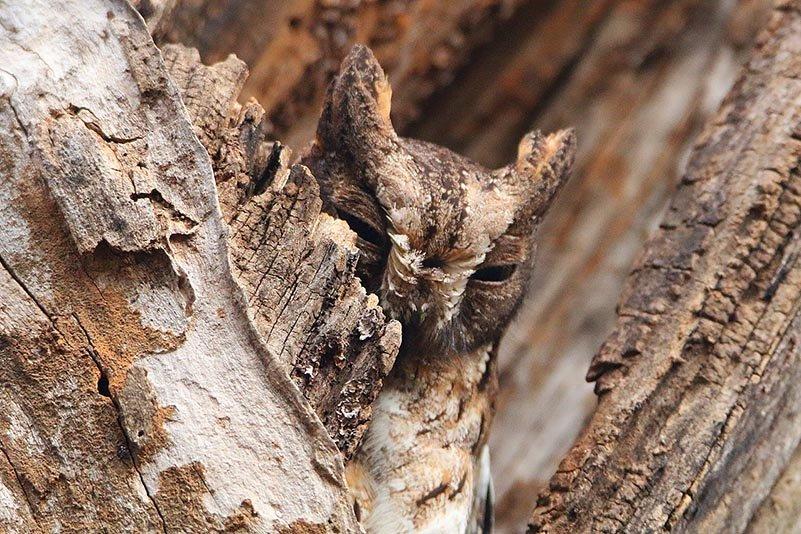 Gabelstreifenmaki (Phaner furcifer)