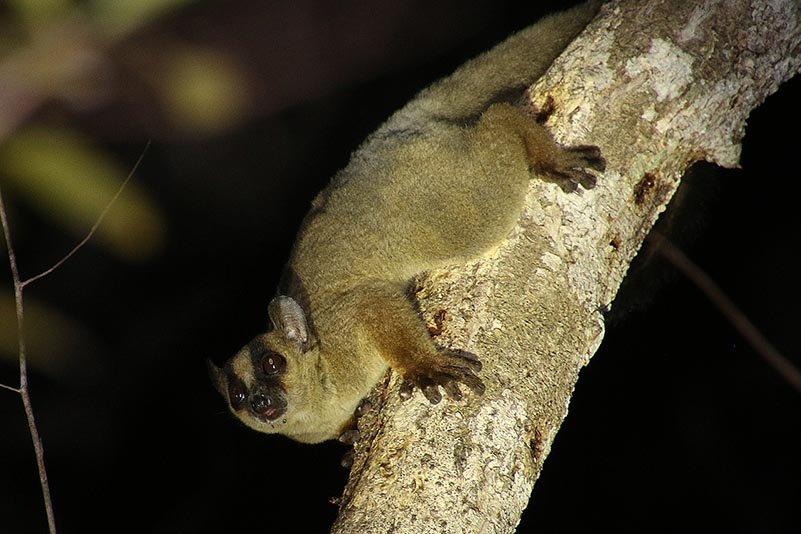 Gabelstreifenmaki (Phaner pallescens)