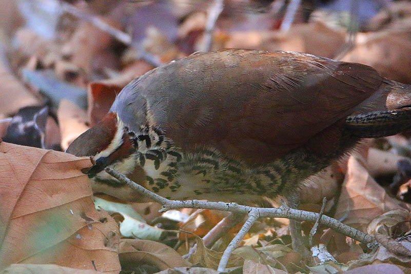 Kurzfuß-Stelzenralle(Mesitornis variegata)