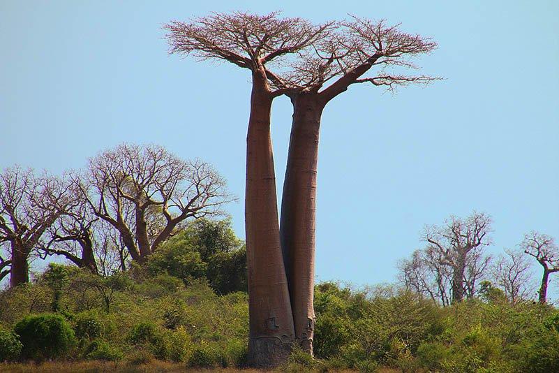 Baobab amoureux, faux
