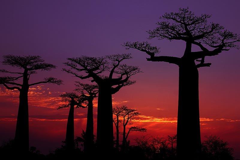 Baobab Allee, Avenue of Baobabs, Allée des Baobabs