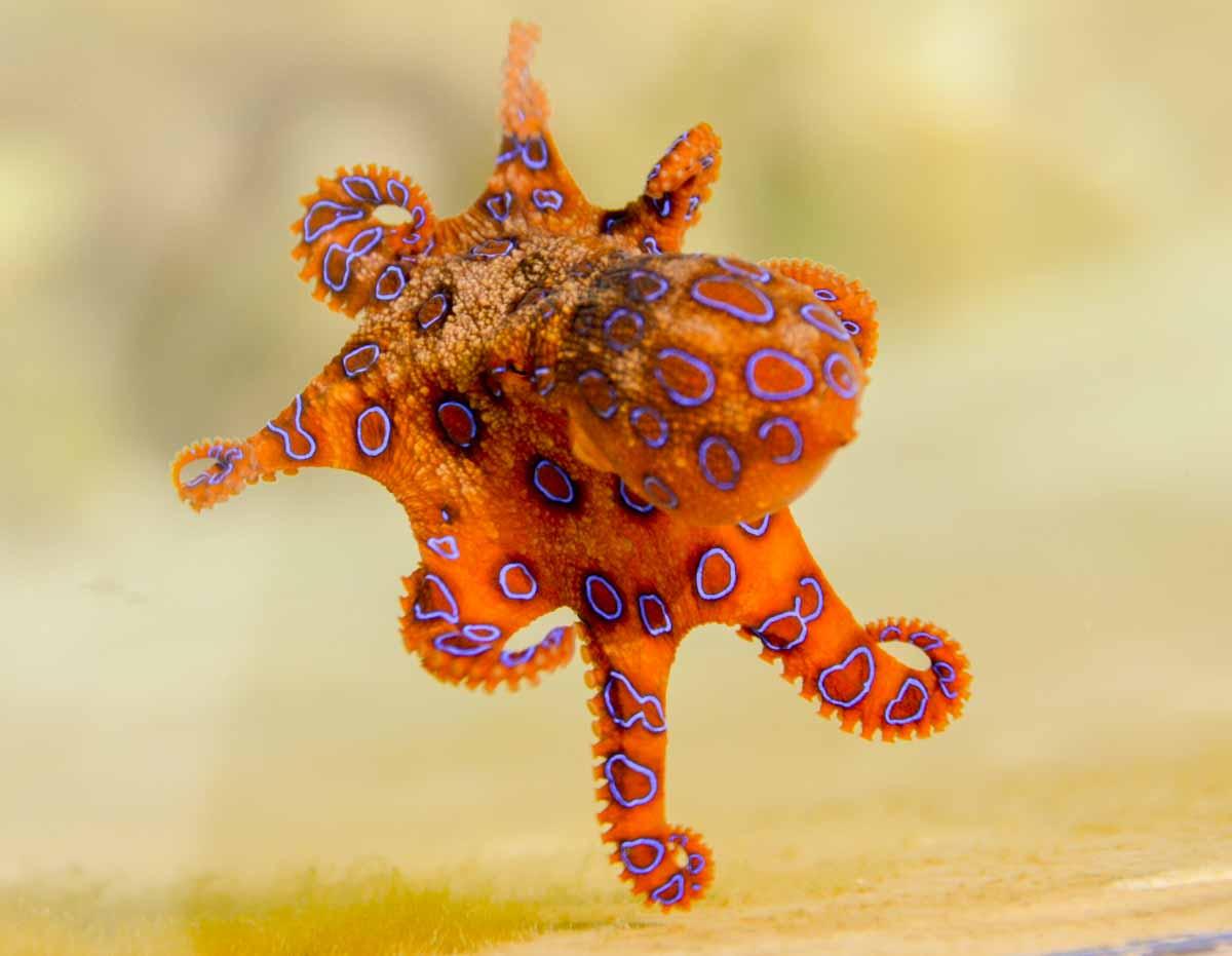 Farbwechsel, Blau geringelter Oktopus