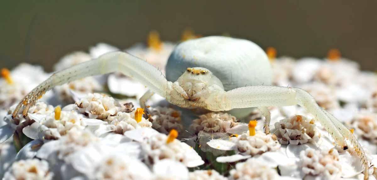 Farbwechsel, Krabbenspinne auf weißer Blüte